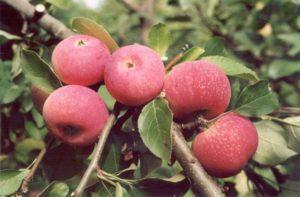 Кисло-сладкий-сорт-яблок-Красная-горка